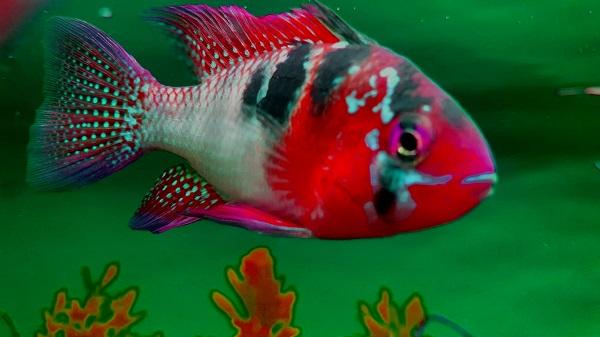 Best Aquarium Filter for German Blue Ram Cichlid Fish