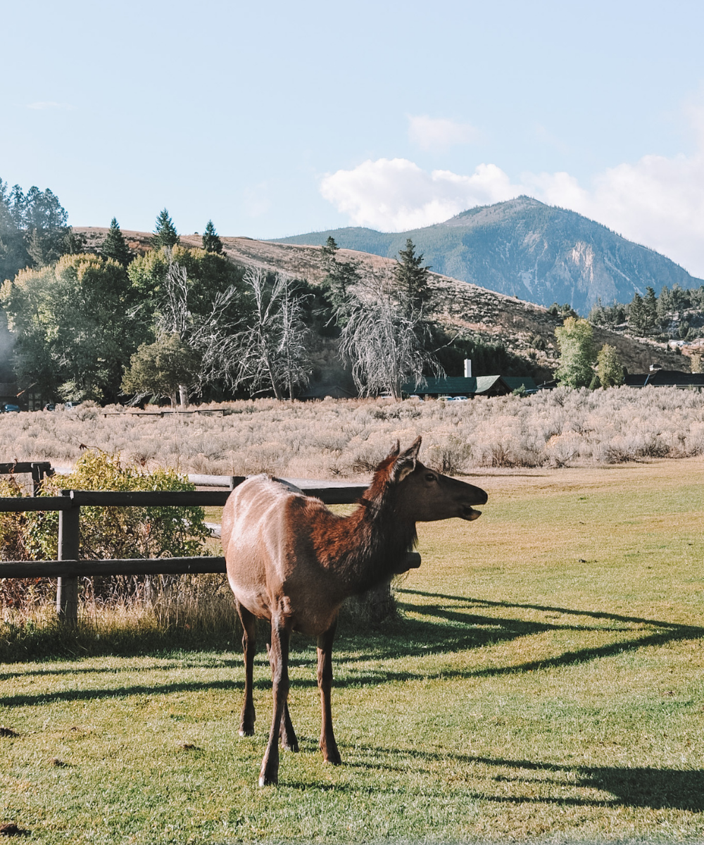 Elk can be seen all over Yellowstone! This one was spotted in Mammoth Hot Springs village area.