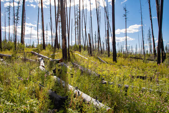 Wildfire affected forest near Howe Lake in Glacier National Park