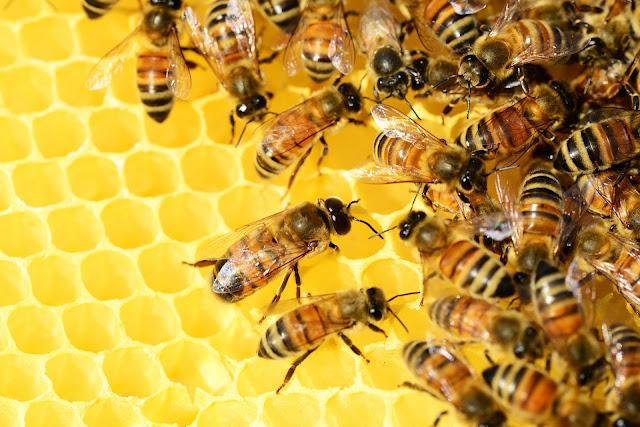 Ideas.Ted.com, Honey Bees on a Honeycomb,Ideas.Ted.com, Honey Bees on a Honeycomb