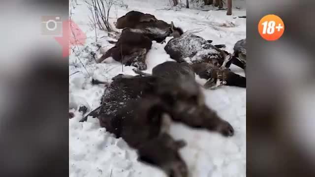 Зверское убийство десятка лосей под Смоленском шокировало Сеть (18+)