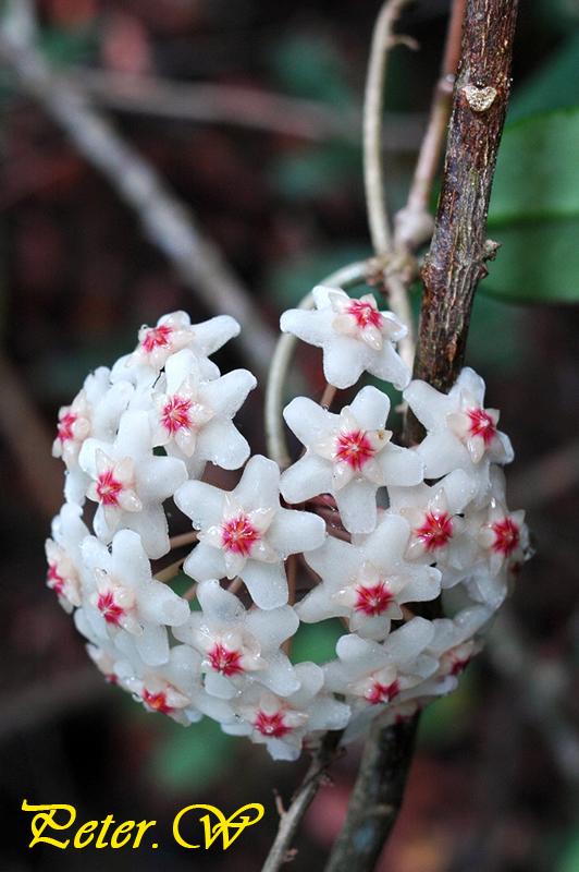 【南國群芳譜】[Flora Australis]: 球蘭 Hoya carnosa