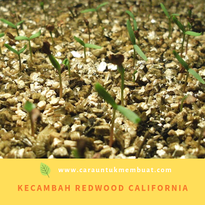 Kecambah Redwood California