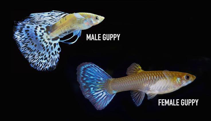 Teknik Pemijahan Ikan Guppy Simpel Dan Dijamin Sukses
