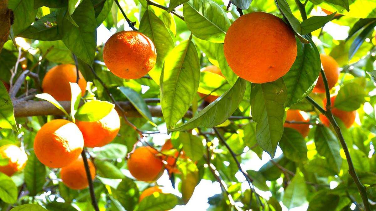 Raccolta arance rosse di Sicilia Igp