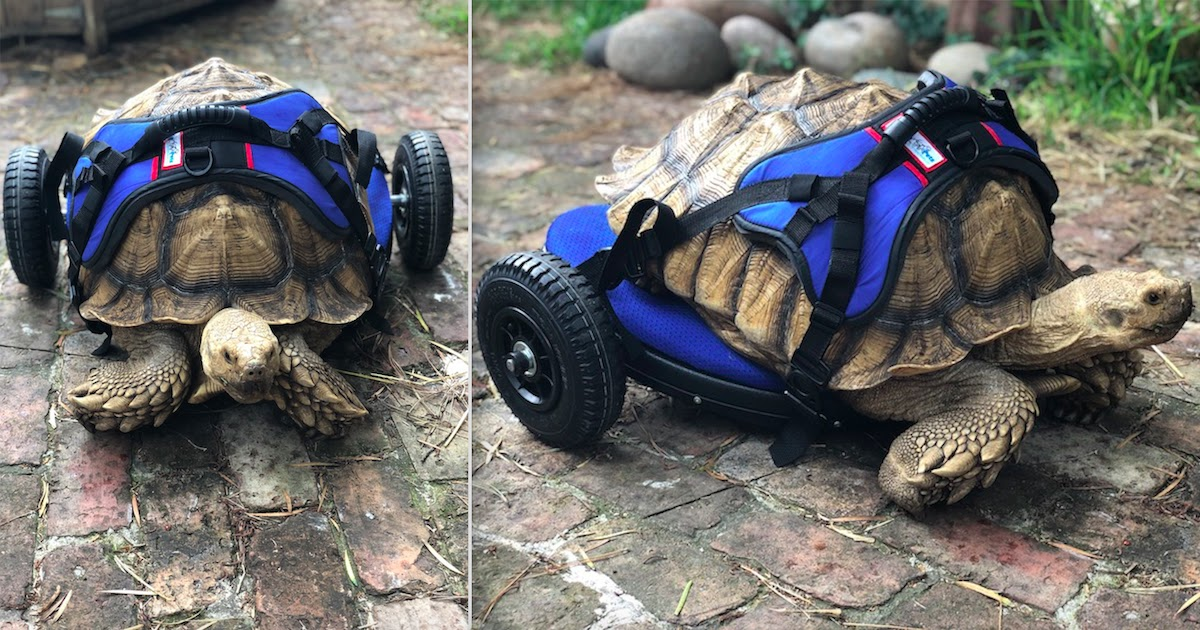 Disabled Tortoise Is Rescued By Activist Group Who Build Him Adjustable Wheelchair