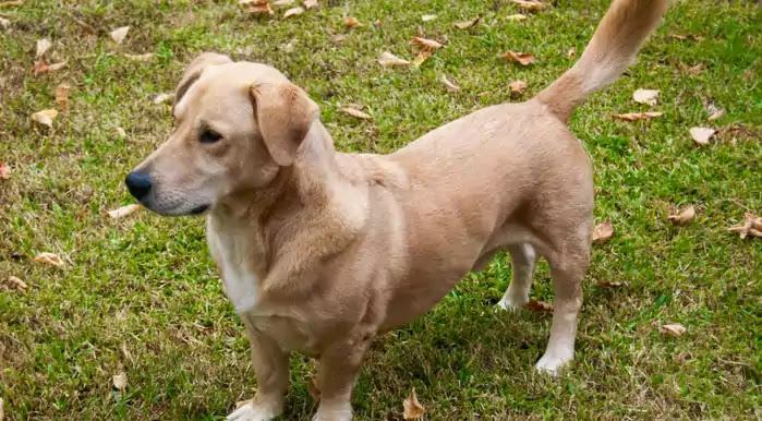 Bassador Dog Breed
