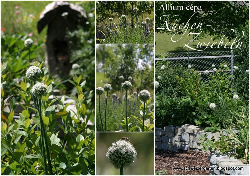 In Den Hochbeeten Blühen Küchenzwiebeln Ich Im Vergangenen Herbst Gesteckt Habe Muss Zugeben Dass Spät Dran War Und Nur Noch Mindere