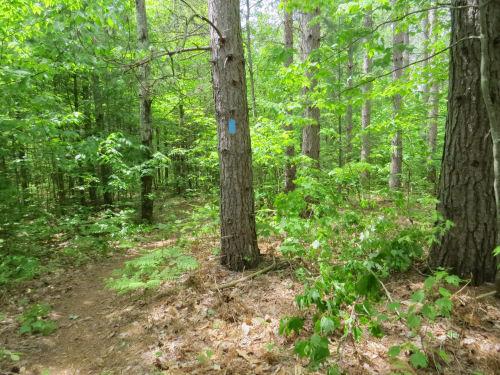 blue blaze on a tree by a trail