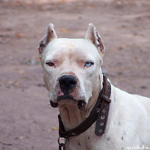 Prohibited Dog Breeds In Australia