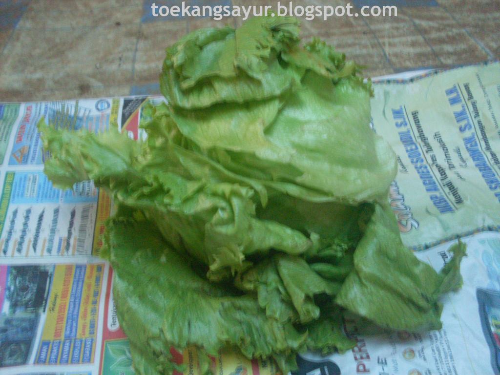 X KB Jpeg Head Lettuce Iceberg