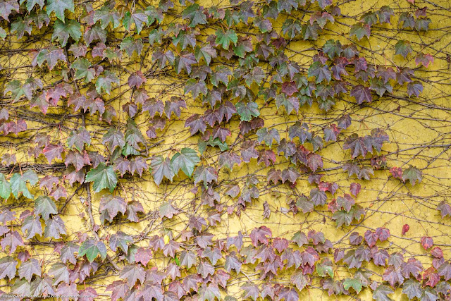 Trepadeira com folhas verdes com tons averemelhados pela chegada do inverno em muro amarelo
