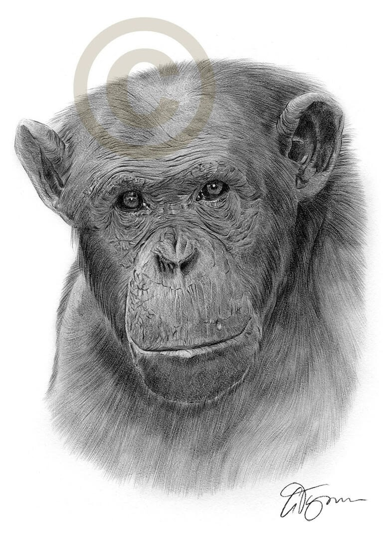 11-Chimpanzee-Gary-Tymon-Wildlife-and-Domestic-Animal-Pencil-Drawings-www-designstack-co
