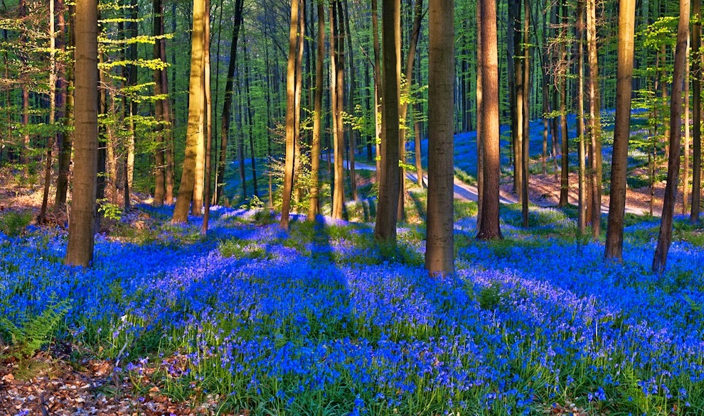 Bluebells Forest Belgium