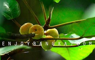 buah khas hutan bangka