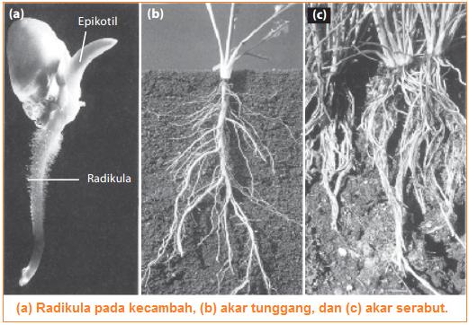 Gambar letak pertumbuhan primer akar pada tumbuhan