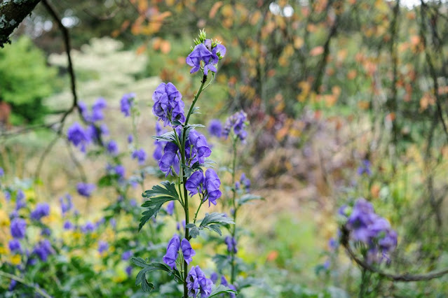 Aconitum napellus, Hyperthermia  Heat stroke,  sunstroke , Neuralgia,  Cardiovascular indications,  Insomnia, Anxiety , Amenorrhea, doctor is you