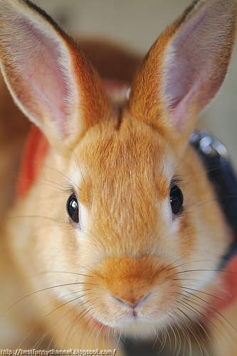 Cute red rabbit.