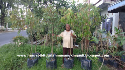 Jual Bibit Durian Musang King Jakarta - 082.137.433.114