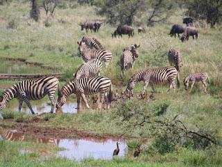 Facts of Zebra