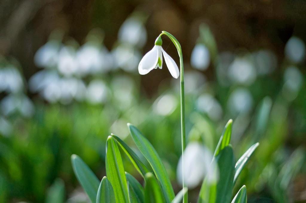 március 8, nőnapi köszöntő, Mészely József, nemzetközi nőnap, hóvirág