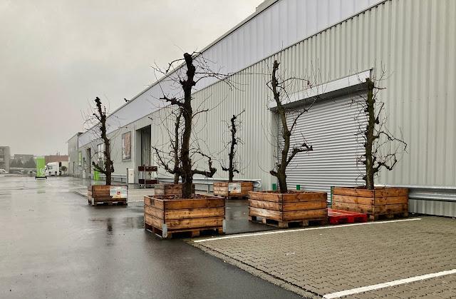 bomen kopen of huren voor bedrijven interieur in Brussel Leuven Vlaams Brabant