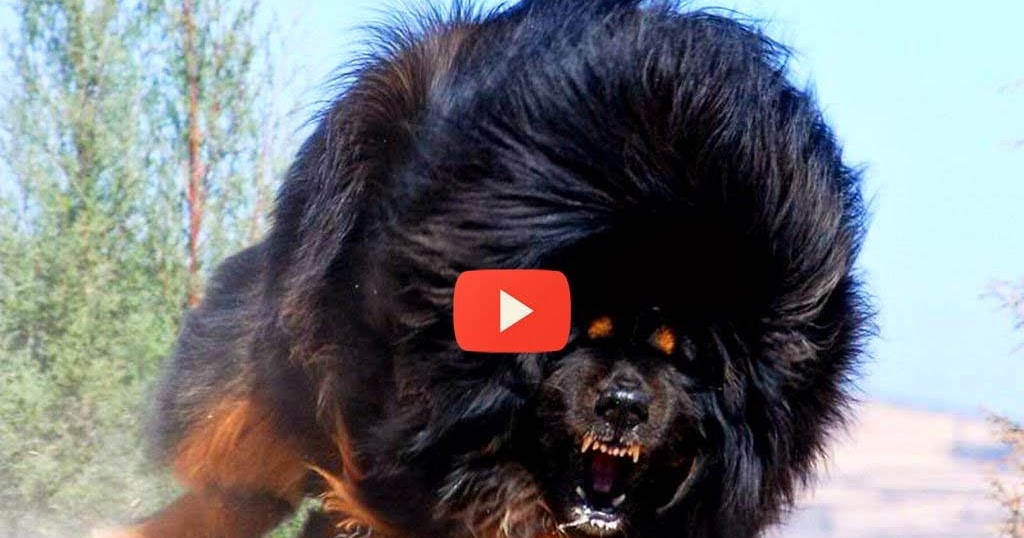 Biggest Tibetan Mastiff Dog World S Most Expensive Dog