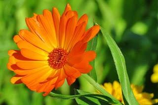 bunga-calendula23