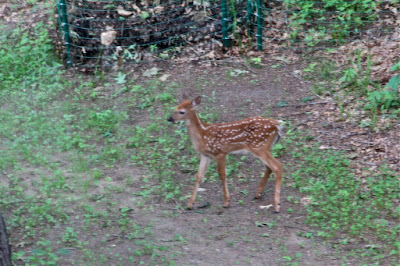 mid-June fawn