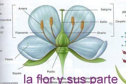 FLOR Y SUS PARTES PDF