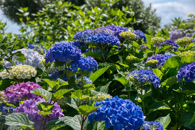 a beautiful hydrangea bush