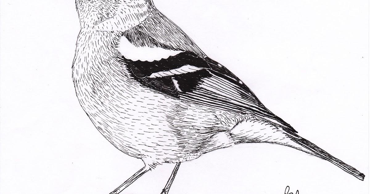Morton Bagot Birder: Chaffinch