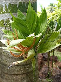 Chamaedorea metallica - Chamaedorée à reflets métalliques