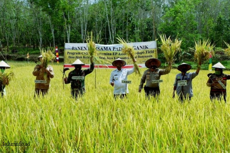 Panen padi di muba