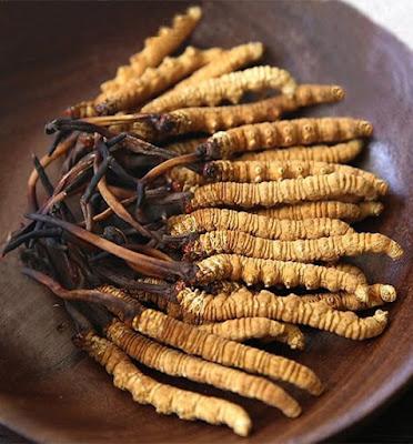 Cordyceps sinensis cultivation training in Malvan