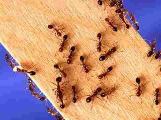 que significa soñar con hormigas