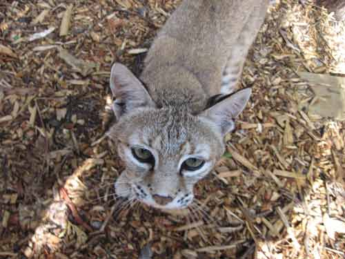 Soper Creek Wildlife Rescue Bobcat.