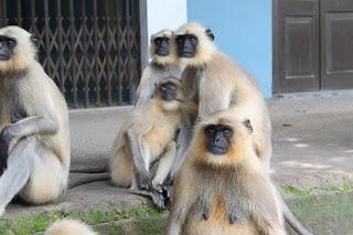 কেশবপুরের হনুমান বিলুপ্তি হয়ে যাচ্ছে