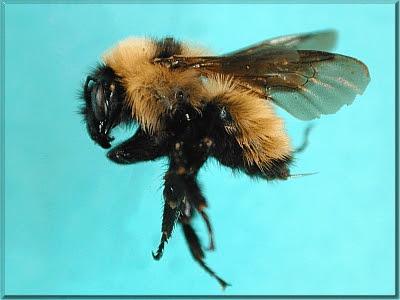 abeja dorada del norte Bombus fervidus