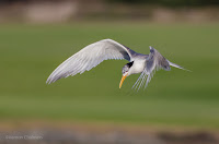 Swift Tern in Flight Woodbridge Island, Cape Town - Canon EOS 7D Mark II
