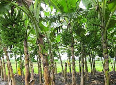 syarat tumbuh budidaya buah pisang
