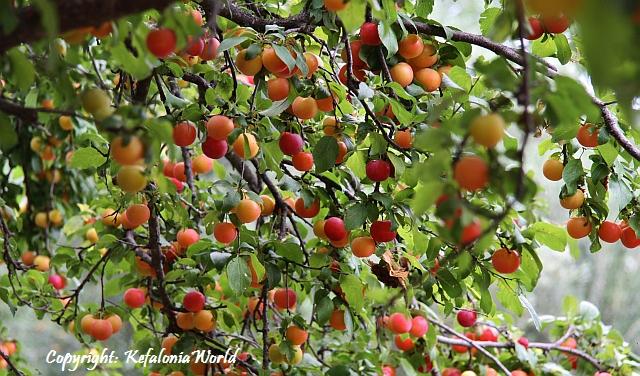 Wild plum tree, Kefalonia