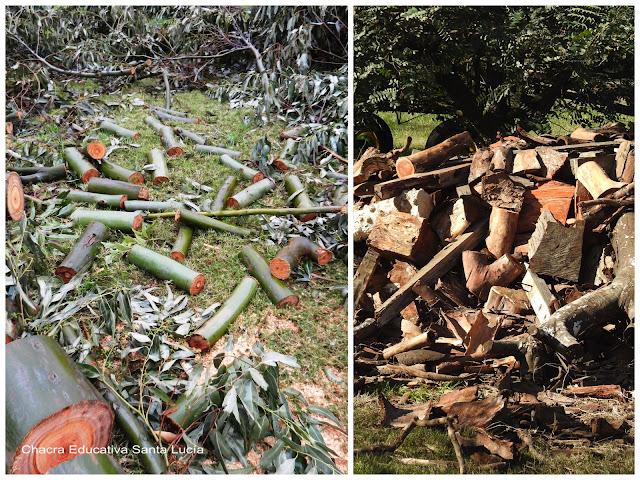 Eucaliptus, poda, leña -Chacra Educativa Santa Lucía