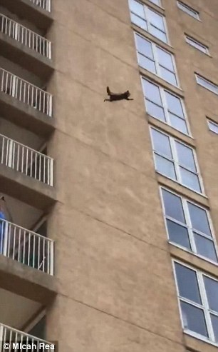 Terrifying moments a raccoon scales New Jersey building before falling off the wall