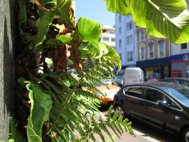 Ferns leaning into a street from the drainpipe behind which they are growing.