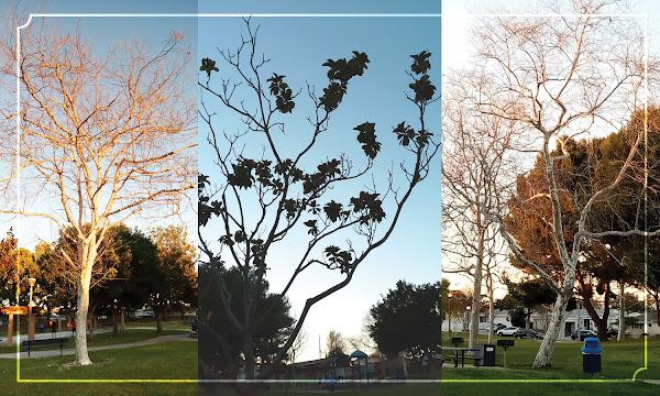 Three tree photographs from urban park
