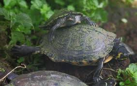 Il giardino delle naiadi tartarughe nel laghetto for Laghetto in plastica