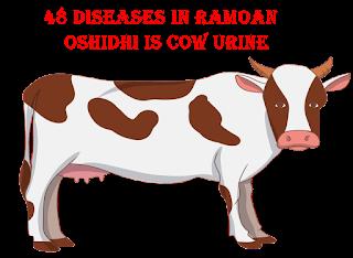 48 रोगो में रामबाण ओषिधि है गोमूत्र