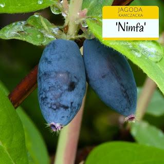 Owoce jagody kamczackiej odmiany Nimfa