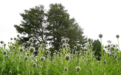 Long grass, thistles and fir trees